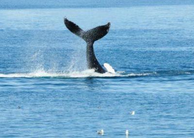 Islanda gran tour-balene