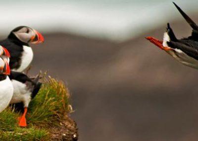 Islanda puffin