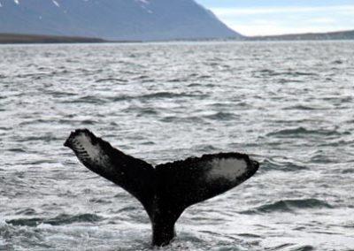 ballenas-lofoten noruega